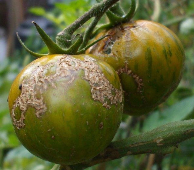 Two Zebra Tomatoes